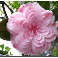 japanese-camellia