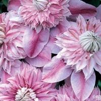 pink-clematis